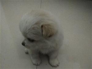 博美混血幼犬便宜转  不久前买的博美混血幼犬,很活泼可爱。现在家人没时间不想养了,已经打过第一...