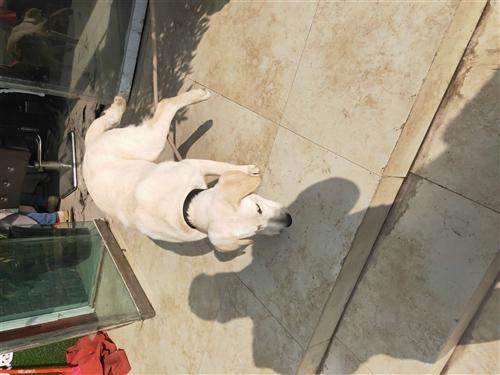 纯种拉布拉多犬纯正血统,六个月了,狂犬疫苗已打完,已驱虫,因家里有孕妇不能在喂养,希望找一个爱犬的朋...