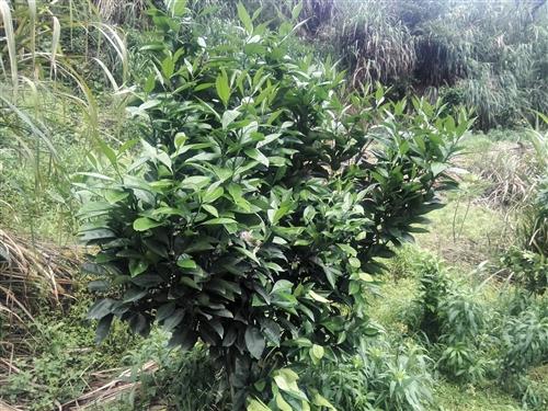 位于兰贝小崖畬果山转让(空山)能种1250棵,可分两份转让