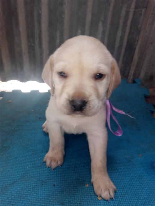 出售几只拉布拉多幼犬。有需要的13525833455微信同步。