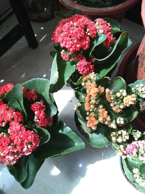 出售多肉十元三盆,豆瓣绿,长寿花十元一盆。