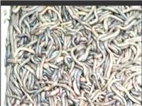 大量回收野生鮮活蚯蚓