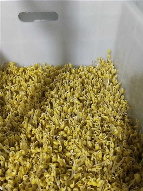 大型商用全自动豆芽机,日产300斤豆芽,庆华机械的机器,淘宝入手价6900元