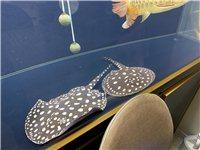 二条虹鱼皇冠,养了1年多了,买的时候7000一对。现在特价5500
