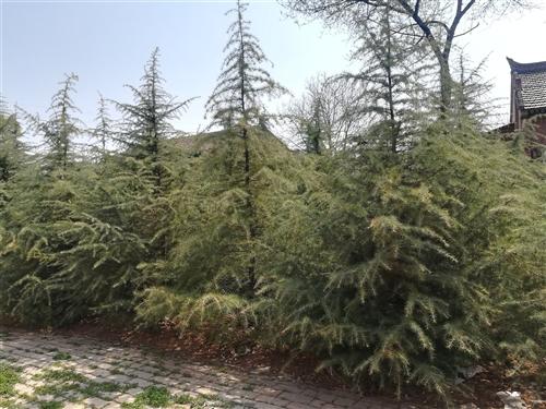 自家种植的正宗南京雪松,200余棵,平均3米高,最高4米  现在低价出售, 需要的可联系田师傅:...