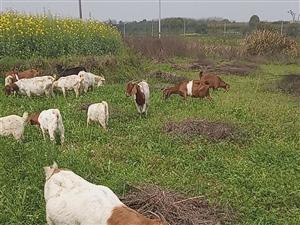 放�B山羊,江夏�坊附近。