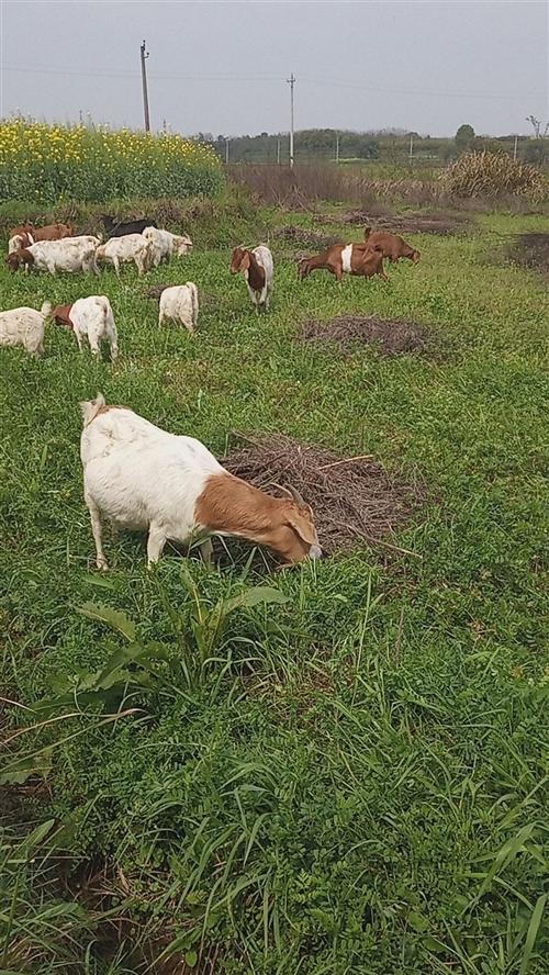 放养山羊,江夏纸坊附近。