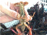 清水小龙虾出售,江夏纸坊送货上门,价格公道,比菜场便宜很多,想要的加:280351780