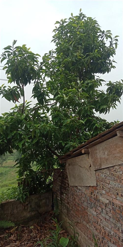 精品黄角兰一颗,树直径15公分左右!因搬家出售!价格可商量!