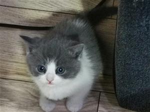 英短蓝白,正八开脸,通脖,粉鼻,母猫,2个多月。聪明可爱!