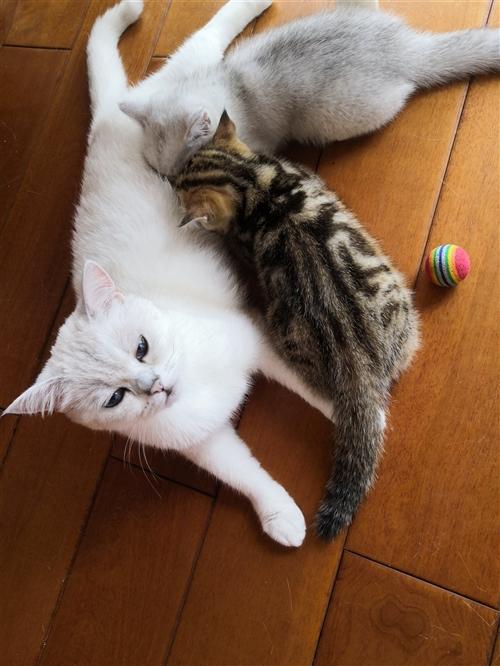 家养宠物猫金虎斑幼猫,健壮,颜值高,聪明,粘人,稀有品种。