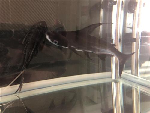 招财猫鱼?成吉思汗鲨鱼?清道夫鱼45元 建平街里送家去都行 鱼缸减密度