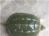 鳄鱼龟有十多斤,便宜卖了,要的就联系我