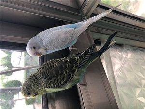 一对鹦鹉不想养了,喜欢的联系