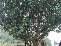 本人老家有棵年龄十多年的桂花树出售,有那位老板需要的吗?高6米左右