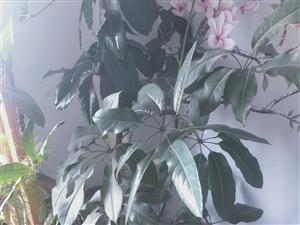 平安树。一百。电话号码 17393778909