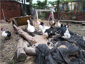 售农家番鸭,本地阉羊`乳羊(乳羊50一斤)