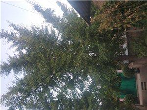 出售自已家里一棵20多年銀杏樹