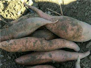 出售石村本地红薯