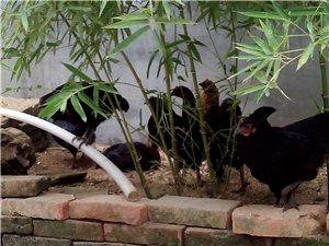 正宗農家散養雞,土雞純綠色食品。