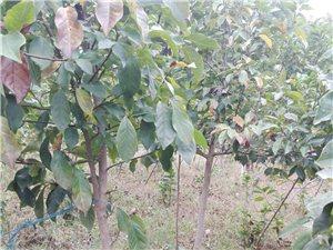 低價出售紫玉蘭  皂角樹