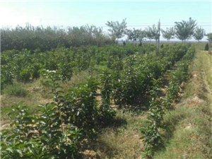 大量賣柿子樹苗