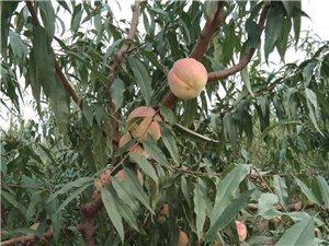 桃子成熟啦