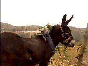 低价出售毛驴 能拉车 能耕地 不踢不咬