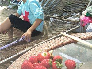 生態草莓。人參果。小西紅柿。