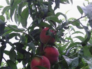 國家地理標志保護品種朱砂紅桃苗