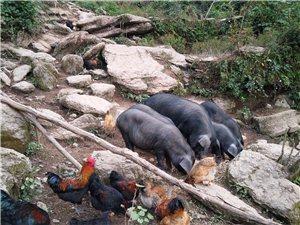 生長在云端之上的散養黑豬土雞