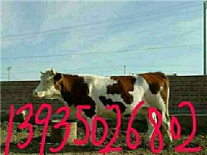 出售品种肉牛