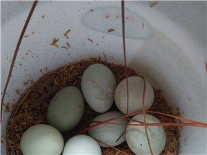 山上放 养五黑鸡蛋
