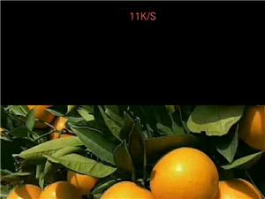 麻陽冰糖橙