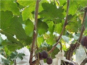 新鲜葡萄熟了,有想吃的找我