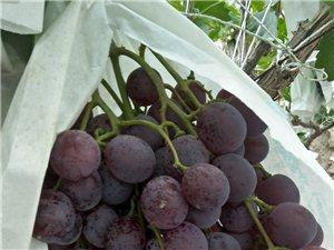 新鮮的葡萄熟了,