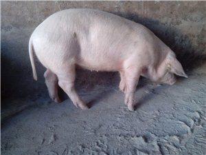 賣純糧食豬