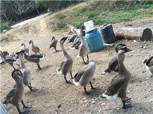 出售纯天然无污染绿色肉鹅