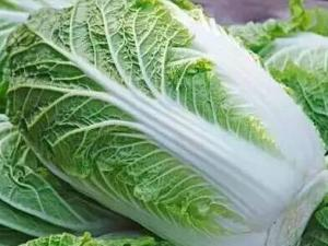 大量白菜直銷大約8000顆