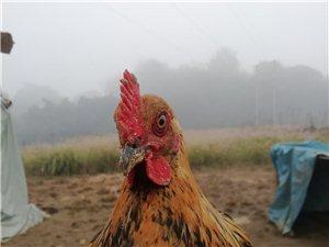 售半野生纯天然散养鸡