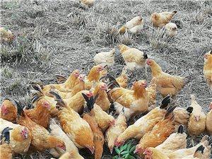 售無花果園散養純天然走地雞