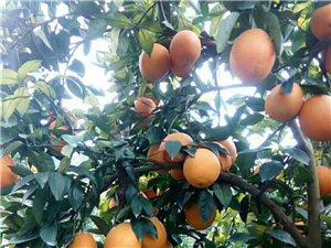本人果山上脐橙2万斤左右出售