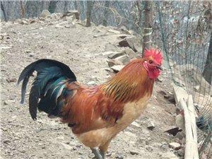 山坡散養大公雞,紅冠綠尾巴,冬季滋養全靠它