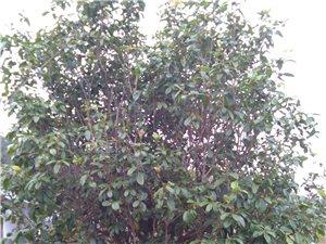 低价转让绿化树