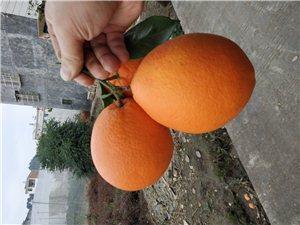 求购脐橙大果90-100