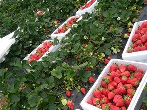 日照草莓奶莓采摘園