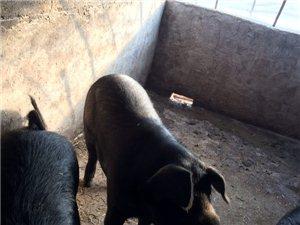 自家熟食喂养的沂蒙黑猪,过年搭伙好选择