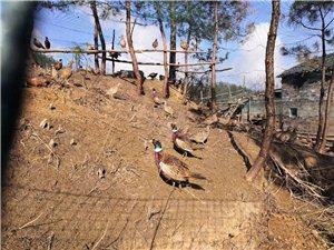 出售家養野雞