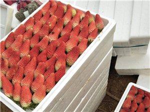 大棚草莓上市 好吃不�F