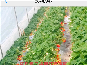 新县将军红草莓采摘园